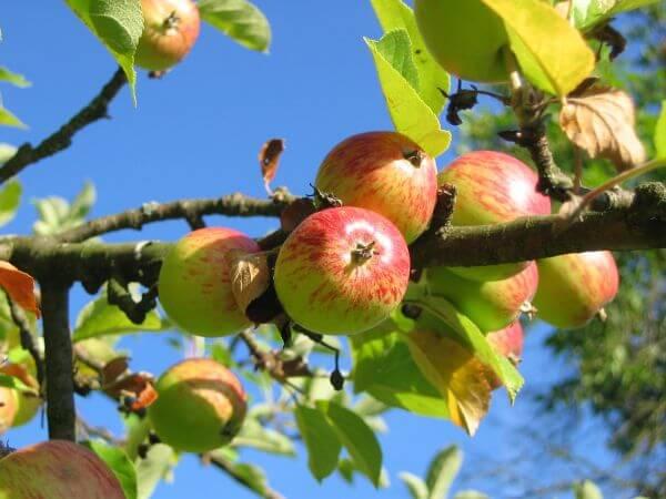 Apple tree photo