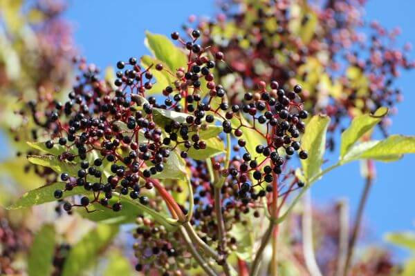 Black elderberry photo