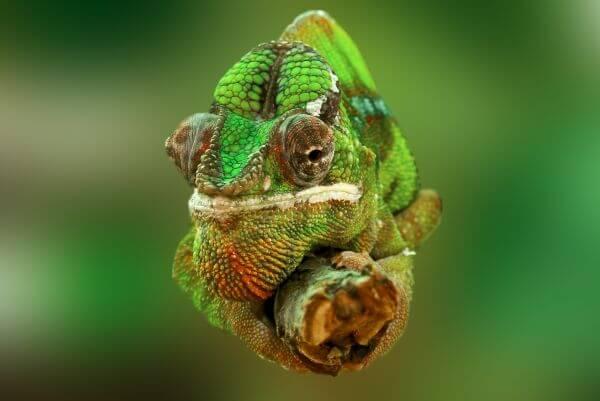 Chamaeleonidae photo
