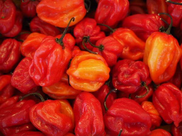 Capsicum chinense photo