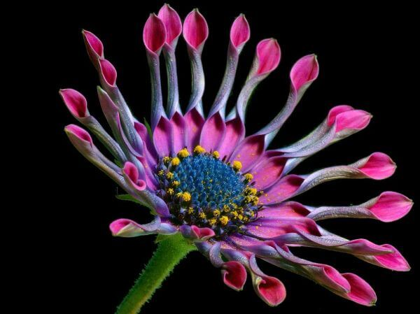 African daisy photo
