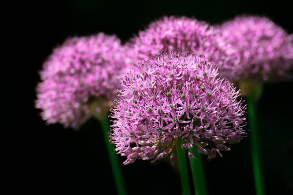 Blume photo