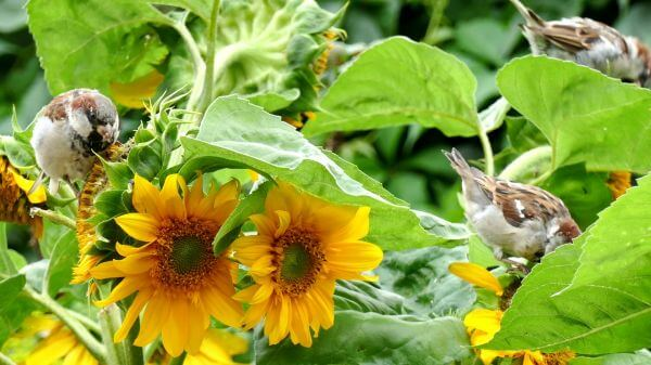 Bird  sparrow  sun flower video