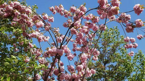 Spring  flower tree  spring flowers video