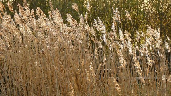 Grass  blowing  wind video