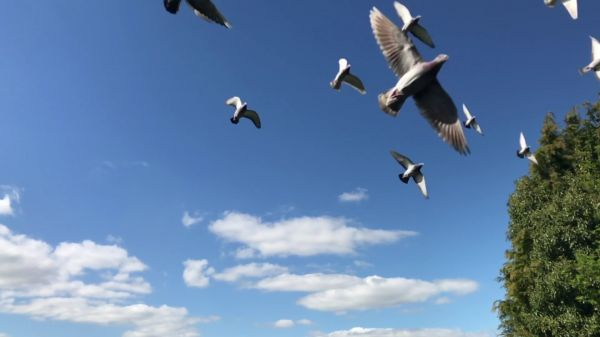 Pigeons  flock  flying video