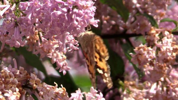 Butterfly  lilac  summer video