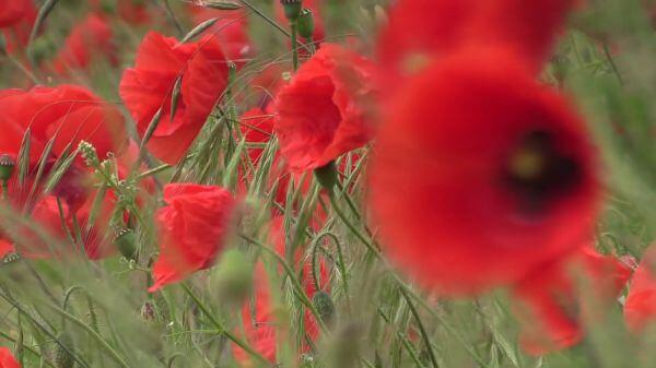 Poppy  klatschmohn  summer video