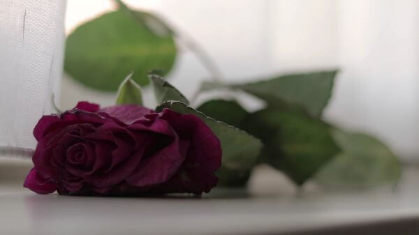 Rose  thrown  flowers video