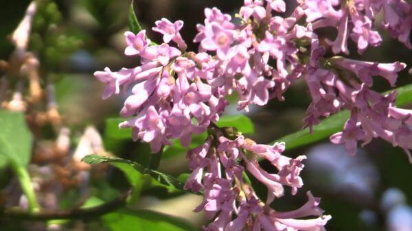 Hummel  lilac  summer video