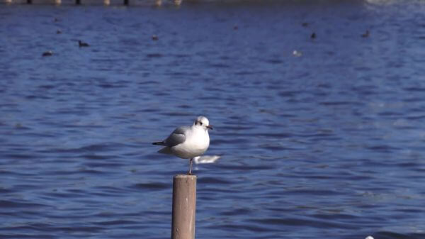 Starnberg  lake  seagulls video