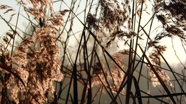 Reed  reeds  by the water video
