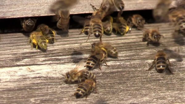 Bees  nectar  beehive video