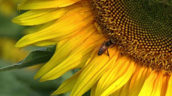 Sun flower  bee  summer video