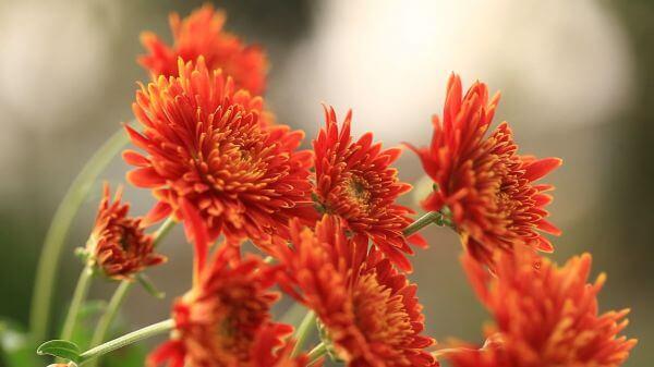 Flower  pyrethrum  macro video