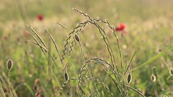 Meadow  grasses  poppy video