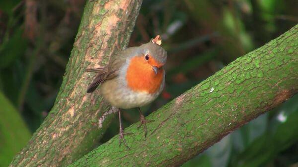 Robin  bird  redbreast video