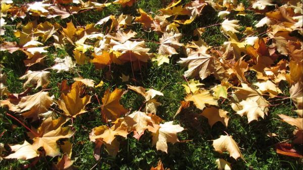 Maple  leaves  autumn video