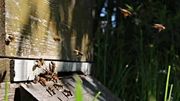 Bees  flight  beehive video