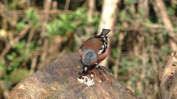 Finch  bird  chaffinch video