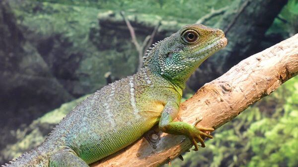 Water dragon  lizard  chinese video