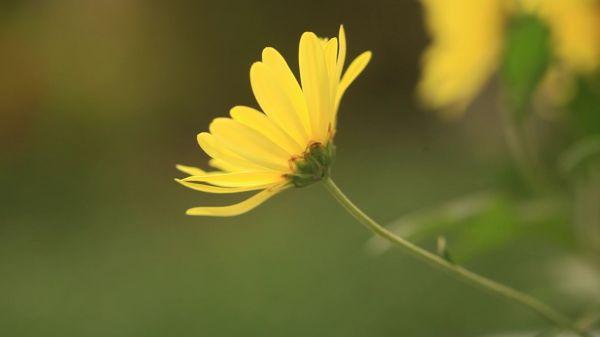 Pyrethrum  flower  nature video