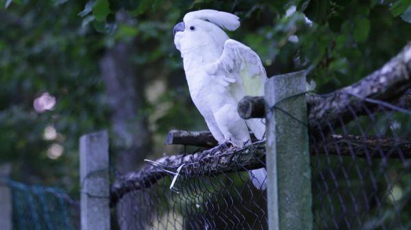Cockatoo  white  bird video