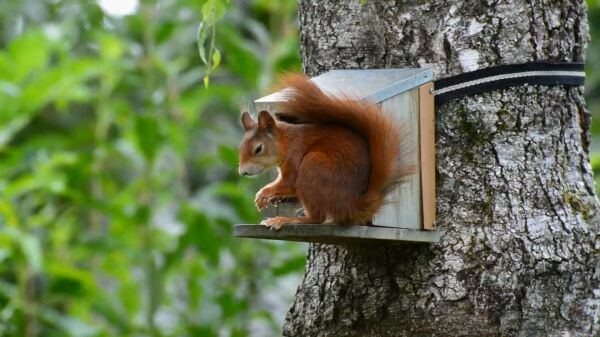 Squirrel  red  nager video