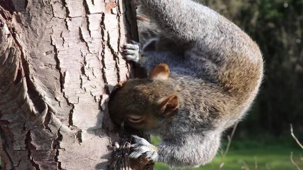 Squirrel  head  grey squirrel video