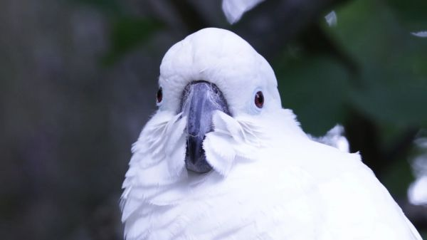 Cockatoo  white  bird video