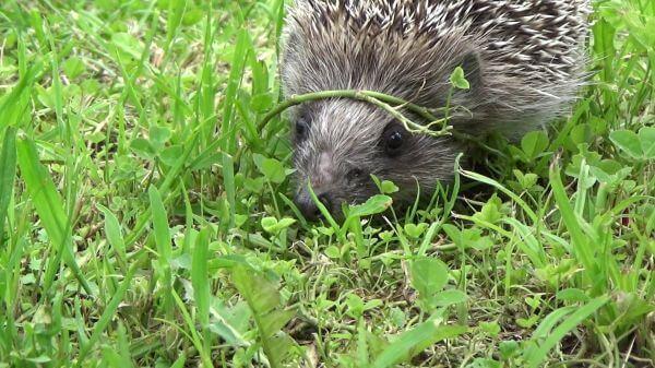 Hedgehog  grass  go