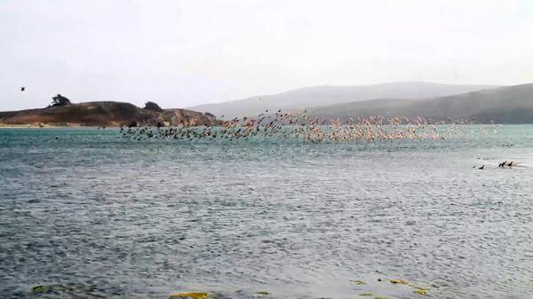 Shore birds  california coast  pelicans video