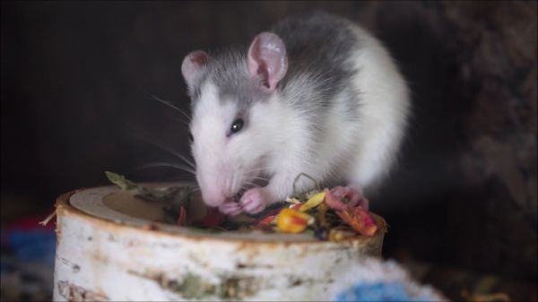 Rat  nager  eat video