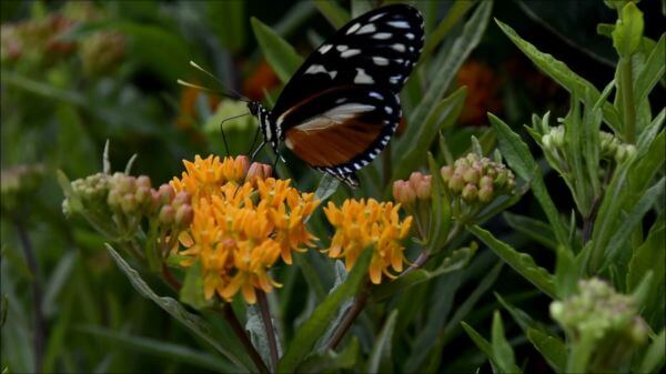 Butterfly  insect  nature video