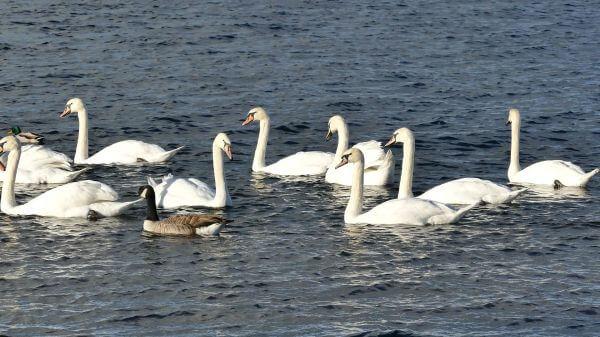 Swans  ducks  water video