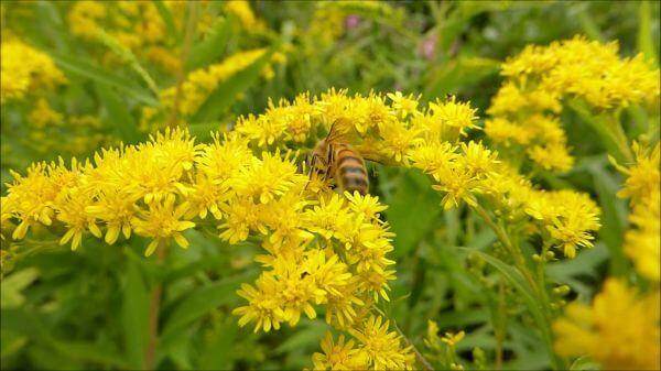 Bumblebee  garden  nature video