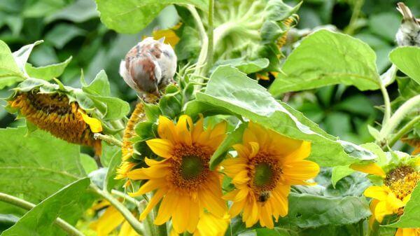Bird  sparrow  sun flower video