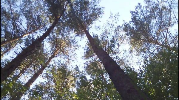 Forest  the trunks of the trees  nature video