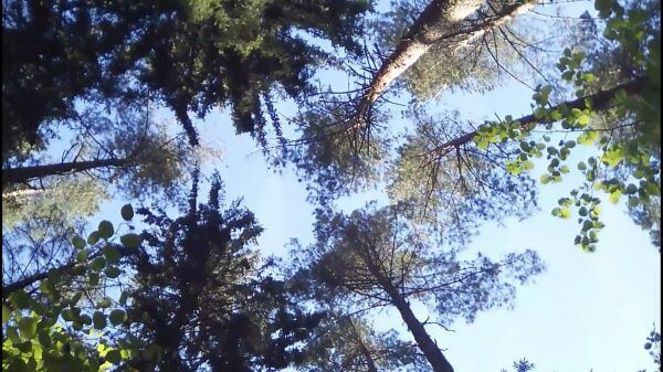 Forest  spring  the trunks of the trees video