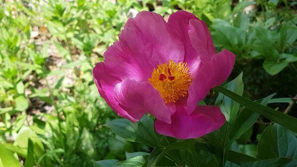 Peonies  pink flower  cluster video