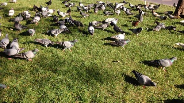 Bird  pigeon  peace video