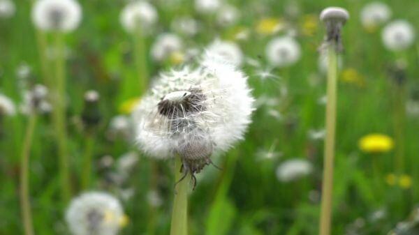 Slow motion  dandelion  close video