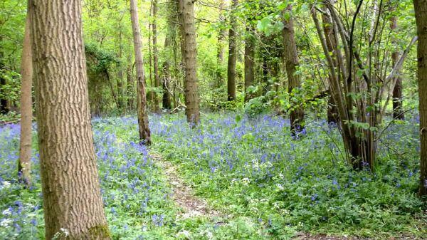 Bluebells  forest  blue video
