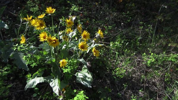 Okanagan  sunflowers  balsamroot video