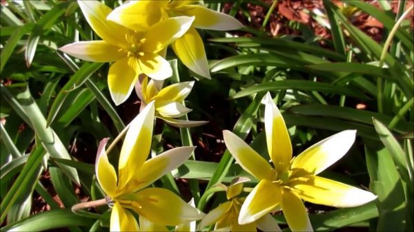 Flowers  swaying  spring video