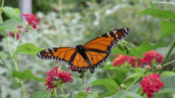Monarch butterfly  butterfly  flower