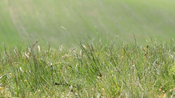 Grass in the wind  lawn  meadow video