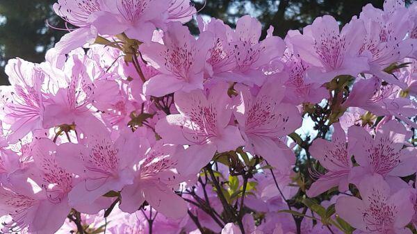 Spring  azalea  pink flower video