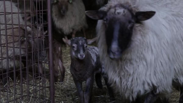 Lamb  livestock  little video