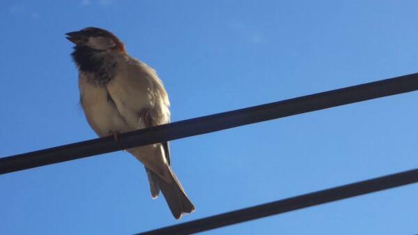 Sparrow  bird  animals video